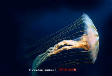 מדוזה בים   צילום: ויקיפדיה